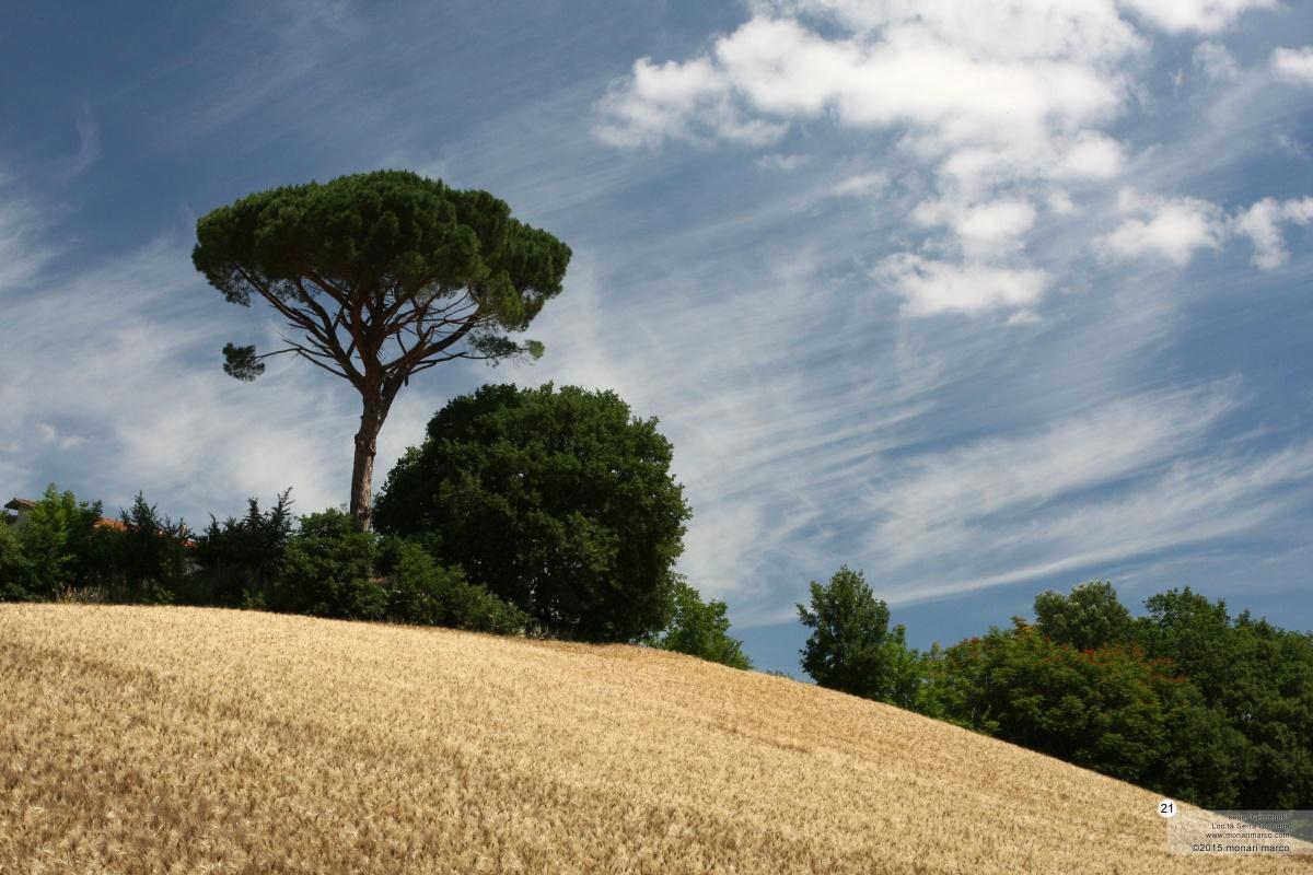 Serra Guarana - Pinus pinea L. ~ pino domestico. Località Casino D'Andrea. Territorio sito nel Comune di San Bartolomeo in Galdo BN Italy. 21