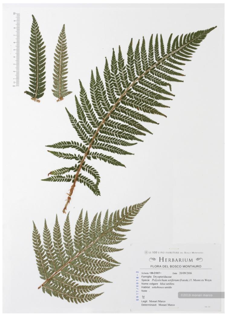 Foglio 0017/0018-2 - Polysticum setiferum (Forssk.) T. Moore ex Woyn. - Dryopteridaceae ~ felce setifera.