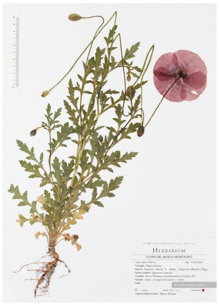 Foglio 0091/0007-4 - Papaver rhoeas L. subsp. strigosum (Boenn.) Pign. - Papaveraceae ~ papavero comune.