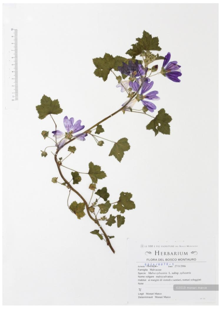 Foglio 0024/0070-1 - Malva sylvestris L. subsp. sylvestris - Malvaceae ~ malva selvatica.