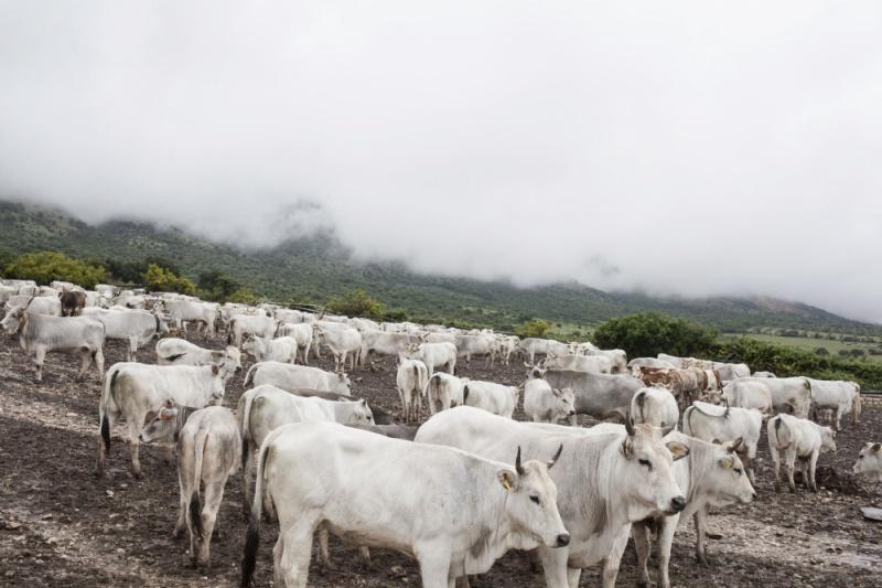 San Marco in Lamis, Prov. Foggia: la mandria di mucche podoliche, proprietà della famiglia Colantuono,  è pronta per il viaggio di transumanza che le condurrà al pascolo montano di Frosolone, in provincia di Isernia.